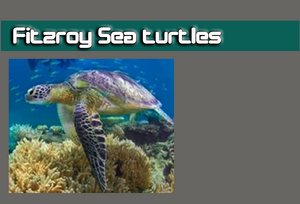 Fitzroy Sea turtless