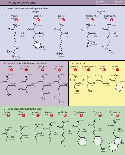 Amino acid galnet wiki fandom powered by wikia amino acid thecheapjerseys Gallery