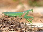 220px-Mantis-greece-alonisos-0a