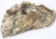Crassostrea gigas oyster