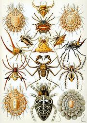 250px-Haeckel Arachnida
