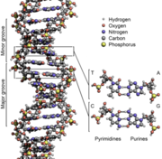 340px-DNA Structure Key Labelled pn NoBB