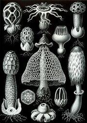 250px-Haeckel Basimycetes