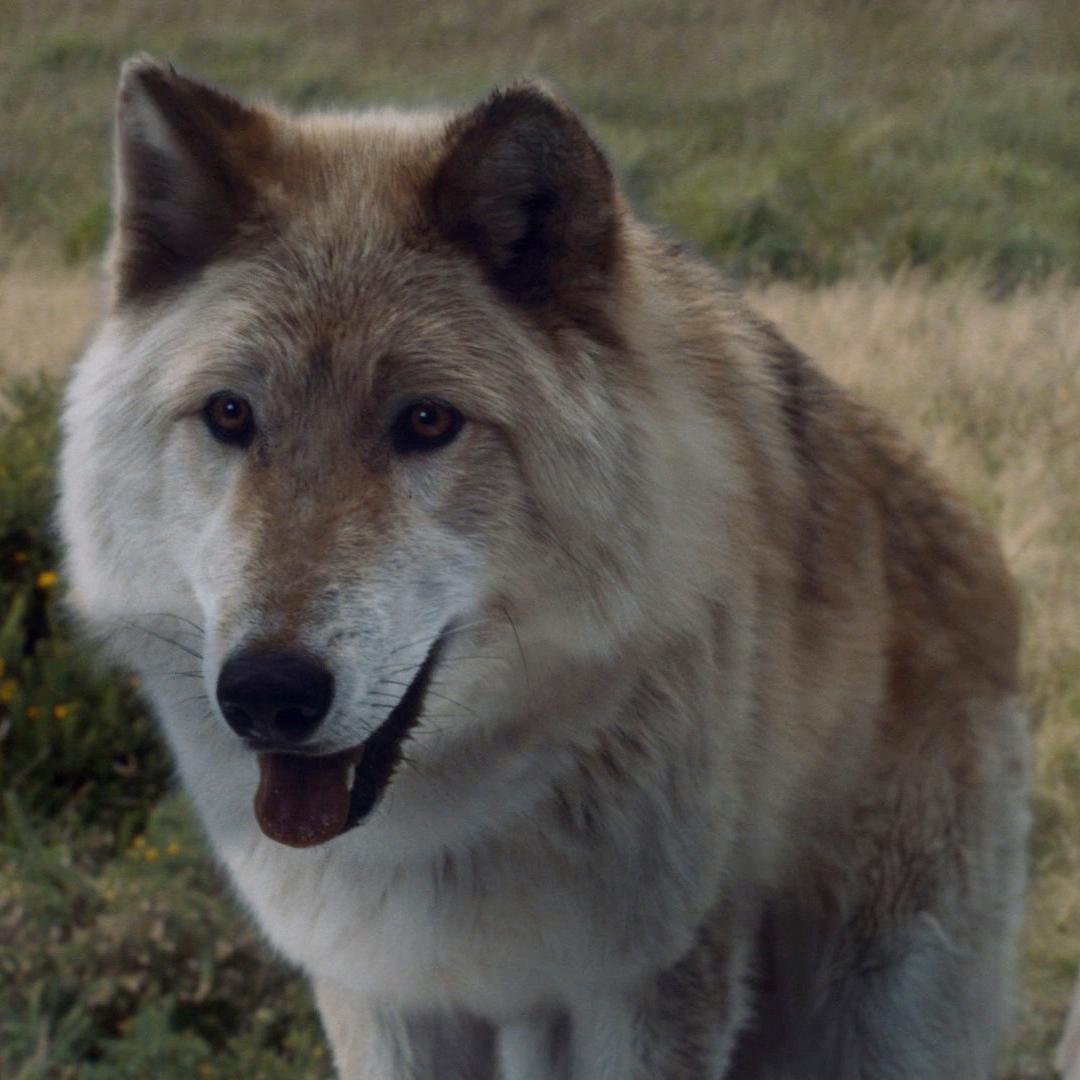 Game Of Thrones Schattenwolf