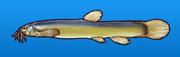 Mudfish