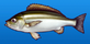 Pigfish