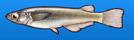 Ricefish