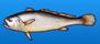 White croaker