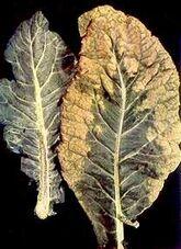 Cauliflower Boron deficiency Leaf