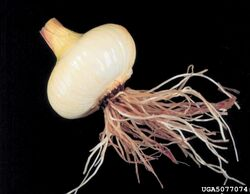 Onion Pink Root of Onion Phoma terrestris
