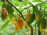 Capsicum baccatum 'Aji limón'