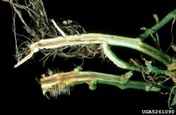 Tomato Southern Bacterial Wilt Ralstonia solanacearum