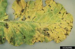 Broccoli Leaf Spot
