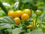 Capsicum chinense 'Charapita'
