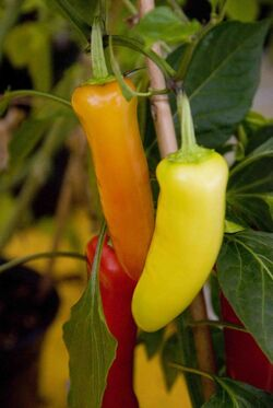 Chilli Hungarian hot wax