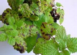 Lemon balm Septoria melissae Leaf