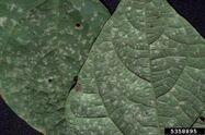 Bean White Leaf Spot Pseudocercosporella albida 2