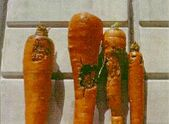 Carrot Crown Rot Rhizoctonia solani