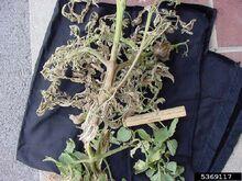 Tomato Rhizopus soft Rot Rhizopus spp