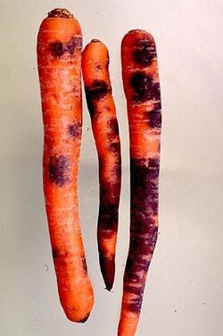 Carrot Black Root Rot
