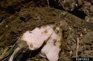 Common Beet Rhizoctonia Solani