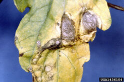 Tomato Early Blight Leaf