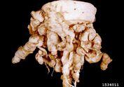 Turnip Club Root