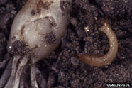 Onion Wireworm