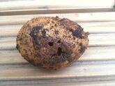 Potato Keeled slug damage External