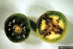 Tomato Late Blight Fruit