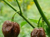 Capsicum chinense 'Jamaican hot chocolate'
