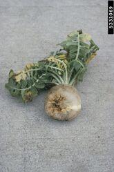 Common Beet Boron Deficiency