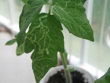 Leaf Miner Tomato