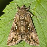 Silver y moth Autographa gamma