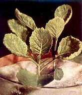 Cabbage Molybdenum deficiency