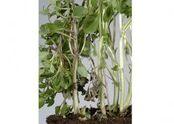 Basil Fusarium oxysporum Stem