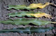 Corn Nitrogen deficiency