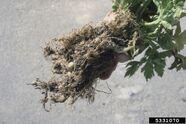 Celery Root-Knot Nematode