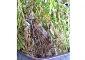 Thyme Grey mould Botrytis cinerea 2