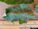Tomato Spotted Wilt Virus Leaf