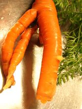 Carrot Forking