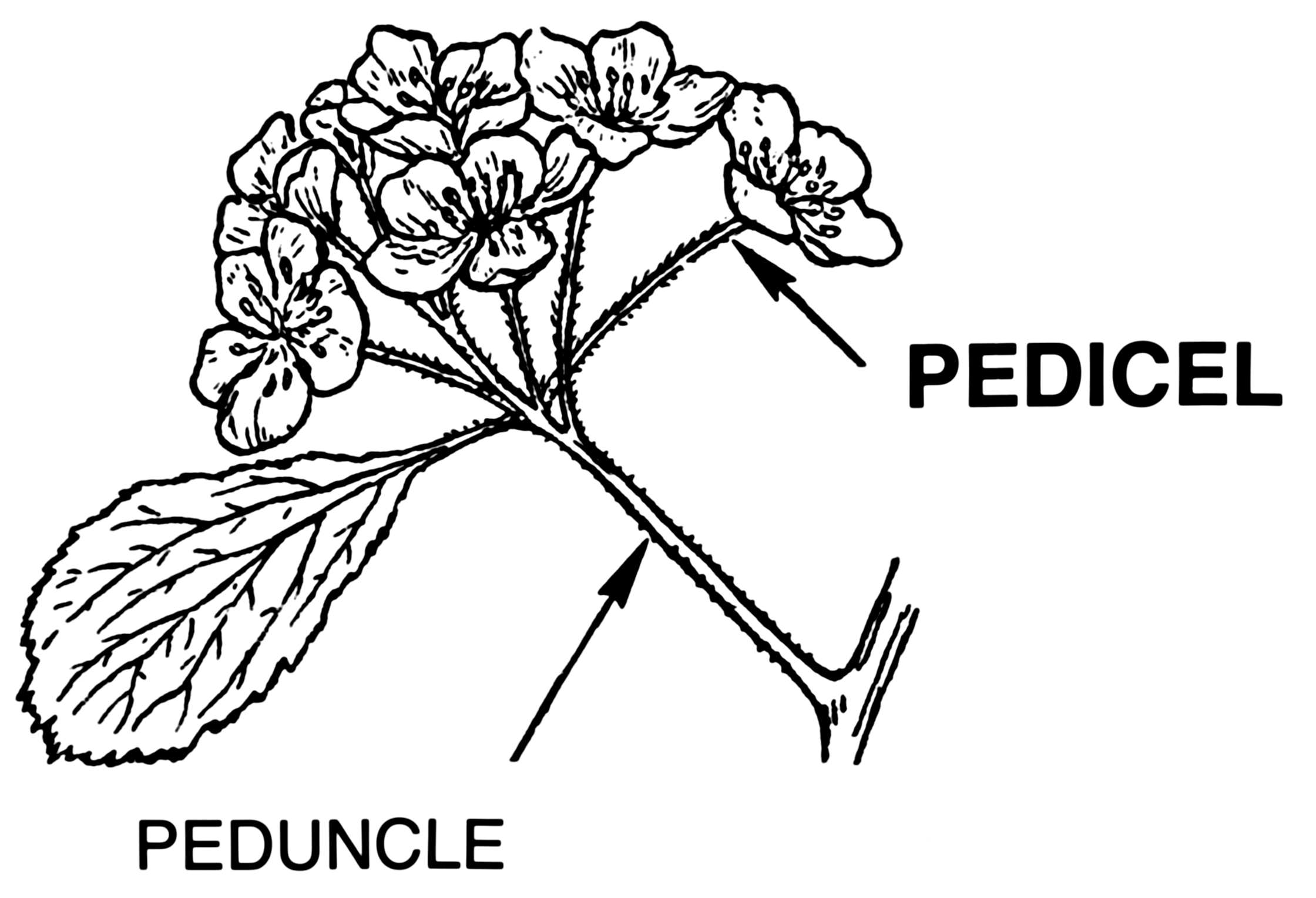 Image - Pedicel Peduncle diagram.png | WikiGardener | FANDOM powered ...