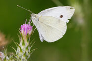 Small white feeding on thistle flower