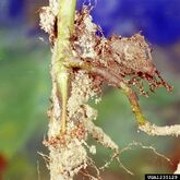 Soya bean Southern blight Athelia rolfsii