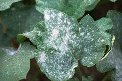Powdery Mildew on Pumpkin Leaf