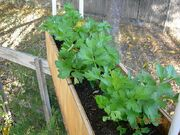 Celery box trench