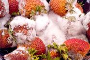 Strawberry Rhizopus soft rot Rhizopus spp
