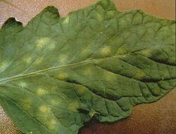 Tomato Leaf Mould