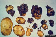 Potato Wart Disease