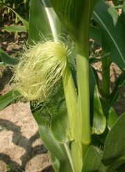 Corn Female silks